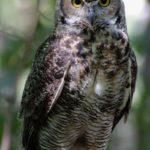 The Big Owl